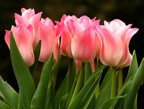 Tulip Photo by Liz West