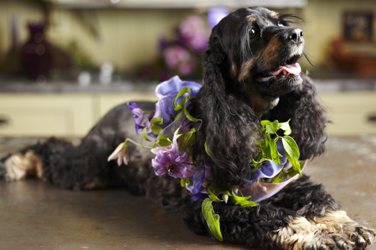 How to make a Clematis Garland for a Dog to wear