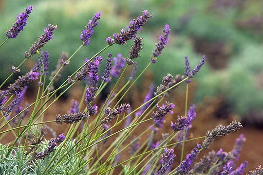 How to Arrange Flowers_Spotlight on Lavender – On Location in Hawaii