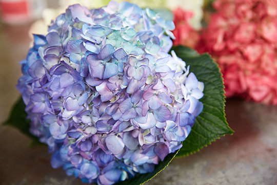 How to Arrange Flowers_How to get the Hydrangea color you want