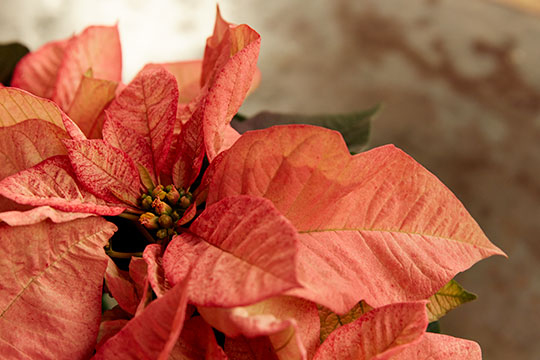 How to Arrange Flowers_Poinsettias and Paper White Tips and Tricks