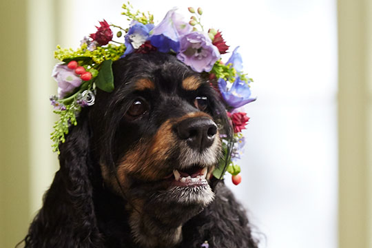 How to Arrange Flowers_Flower Crown for Dogs!