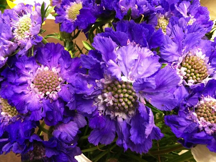 Scabiosa- AKA Pincushion Flower