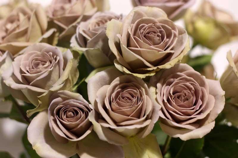 """Tween"" Colored Roses-"
