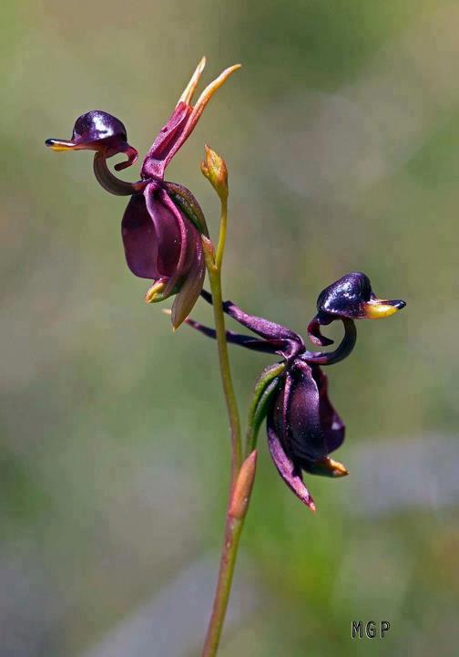 Calena Major Orchids