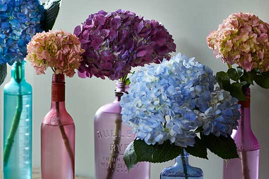 Tinting Hydrangeas for the Perfect Color
