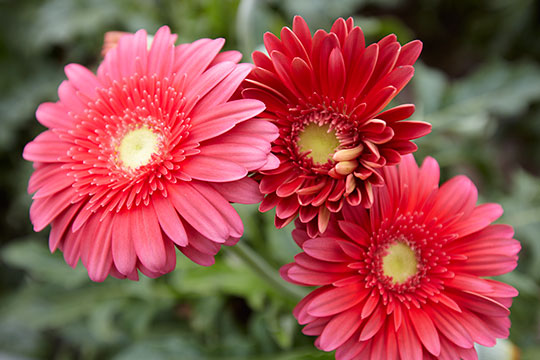 Featured flower is the Gerbera Daisy- a flower that makes everyone smile!