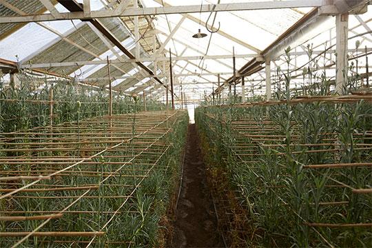 Inside the Akiyama Carnation Houses in Watsonville California