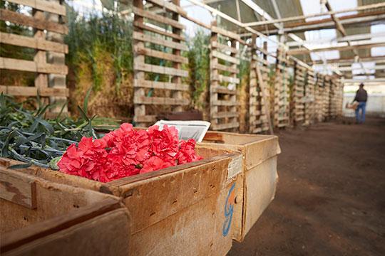 The Akiyama Family grew carnations on a small farm in California