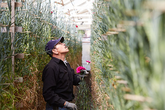 Carnations are harvested from decade old plants- that reach over 14 feet tall.