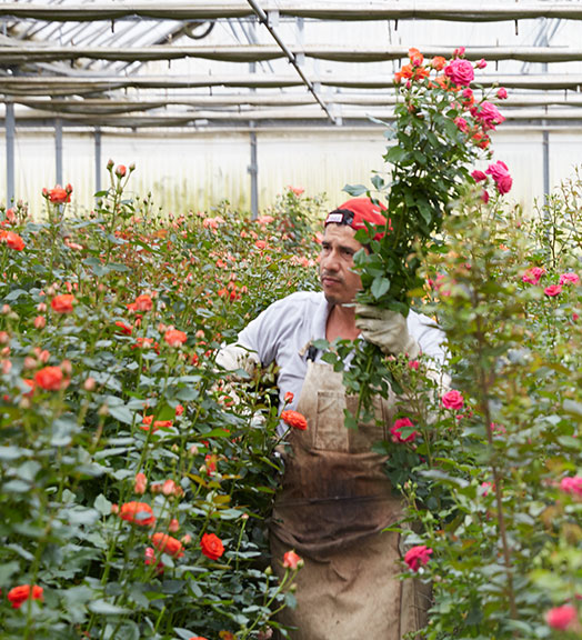 Harvesting the Amazing Spray Roses- at Eufloria Flowers