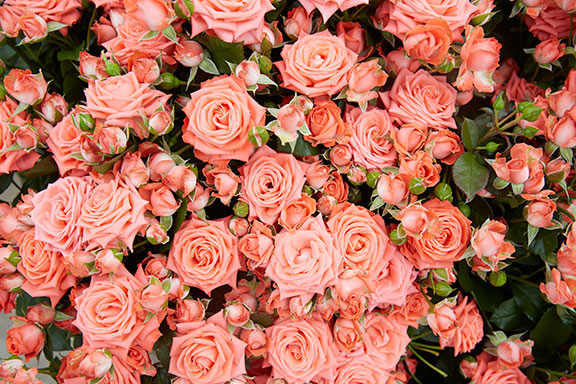 Just one of Many Spray Rose Varieties that are grown at Eufloria Flowers!