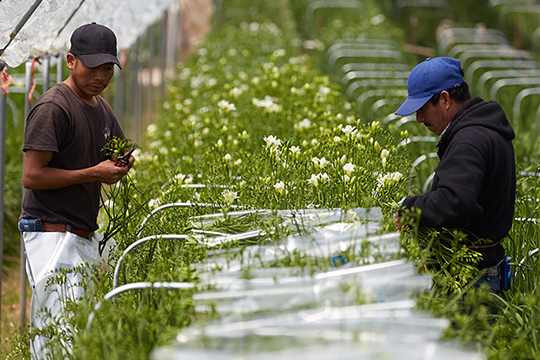 Holland America grows Freesia in the Sunny Midcoast of California!