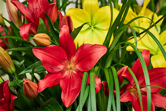 Lily Arrangement with Holland America