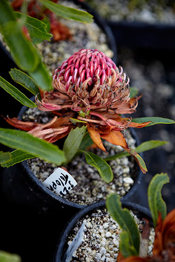 Mel Resendiz creates new variety of protea by hand at Resendiz Brothers!
