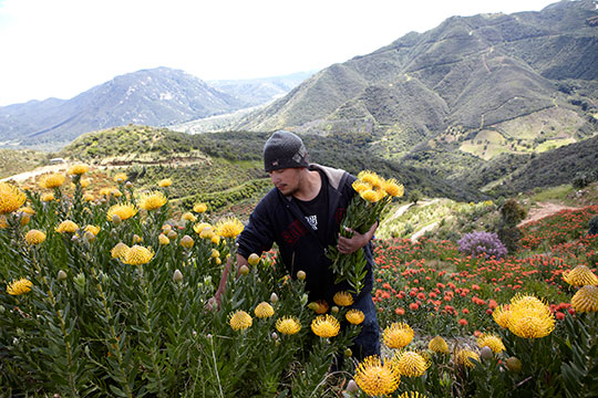 Protea Farming in California