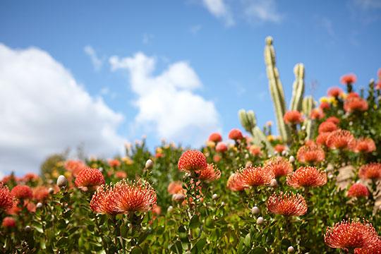 Pin Cushion Flower Farm