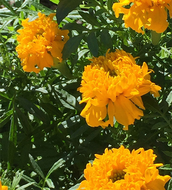 Organically grown- these home grown Marigolds made their way in the Marigold Agave Cocktail on J Schwanke's Life in Bloom!