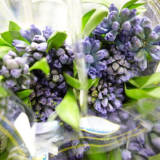 Tulips aren't the only Flowers that Sun Valley grows! Here Purple Hyacinth are bundled for shipping!