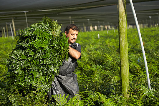 The harvesting process is amazing- all fern is cut, graded and bunched in the field before being FernCool-ed in the packing house!