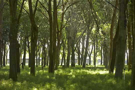 "Delicate fern ""babies"" grow strong in the dappled sunlight- under the Live Oak Hammocks at FernTrust"
