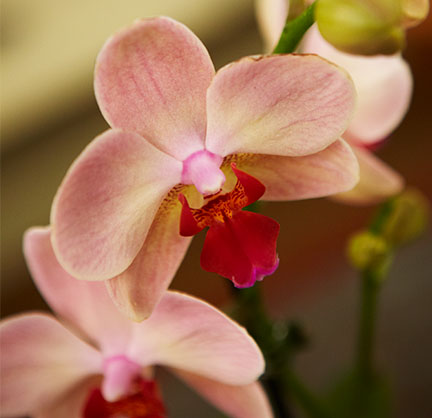 Phaleanopsis Orchids- also known as Butterfly Orchids appear on Life in Bloom!