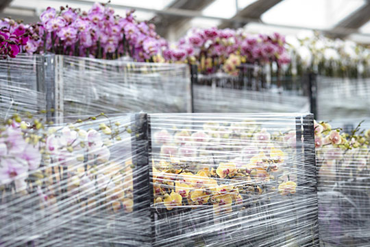 Once blooming the orchid plants at Westerlay are shipped all across the country!