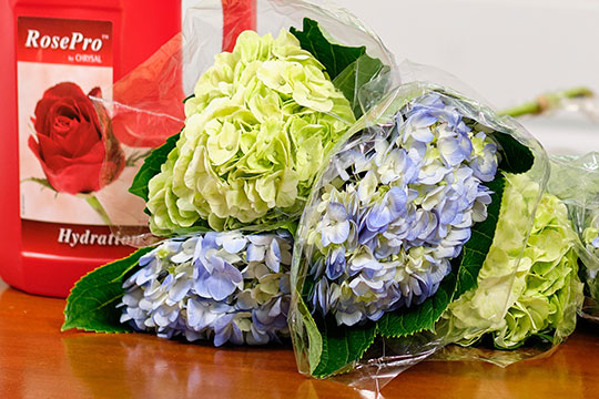 Straight Talk with J - Hydrangea Care