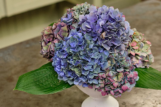 Hydrangeas in Flower Foam - SUCCESS!