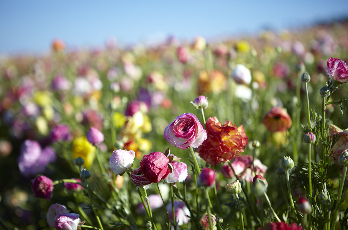The Carlsbad Flower Fields are maintained by Mellano & Co...Flower power!
