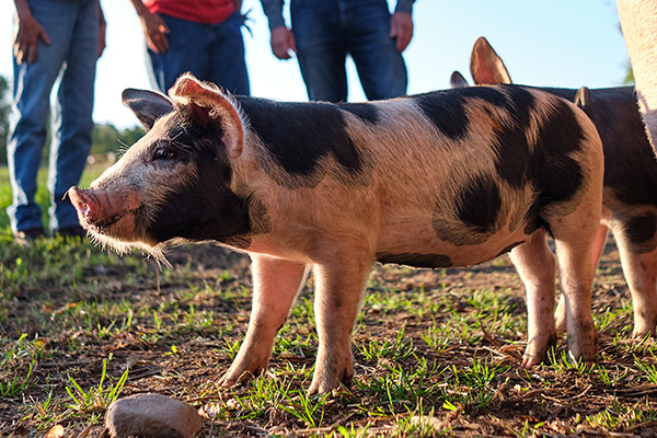 Perfect Piggies- at Crane Dance Farm- part of their Heritage Breed Pork Production!