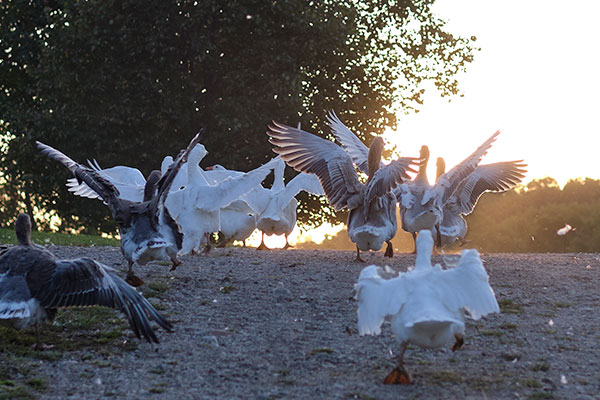 Geese are on the Go at Crane Dance... Happy Farm with Happy Animals!