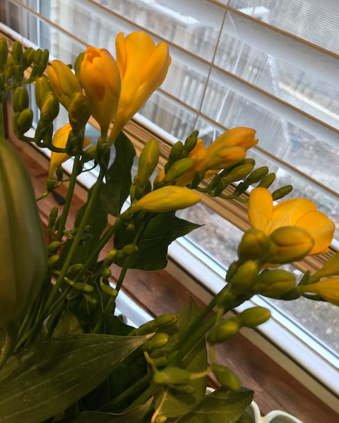 Yellow Freesia- great contrast to the grey Michigan day outside!