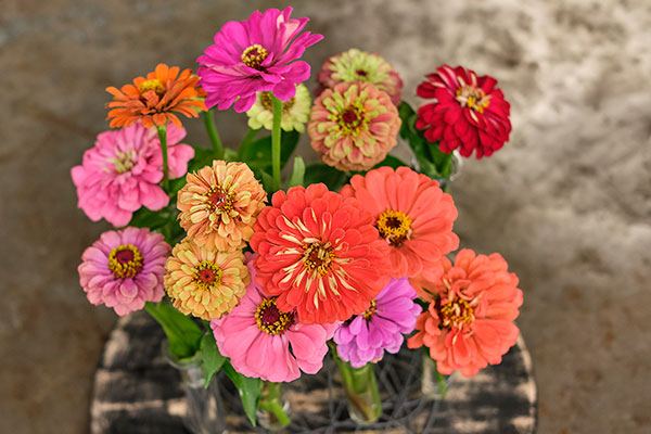 Zinnias are the Featured Flower on this week's show- here's a few- of the Bright Colors and Cinderella Varieties from Z's Farm!
