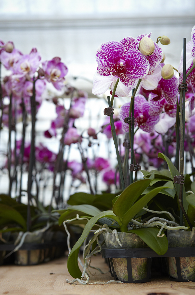 Orchids abound at Westerlay Orchids in Carpinteria CA