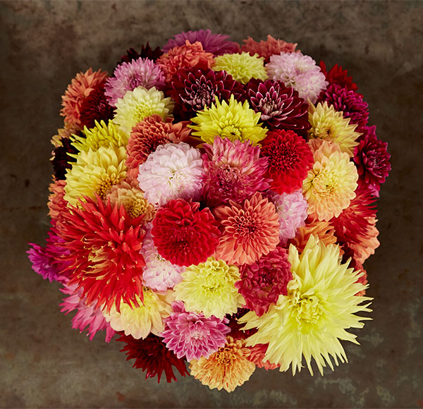 It's all about Dahlias- this week on J Schwanke's Life in Bloom as we learn more about one of my favorite flowers!