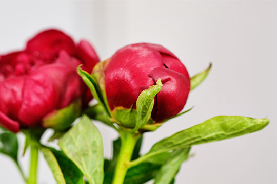 Care and Handling - Cut Peonies (includes opening tips)!