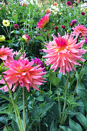 These Dahlias are part of the Cactus Variety that are grown at Hope Dahlias