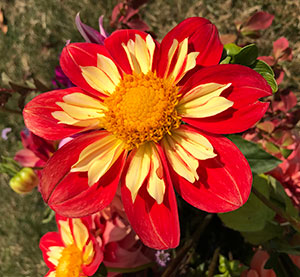 These little yellow petals on the Collarette Dahlia are actually part of ONE petal- the yellow smaller petals grow out of the other petal... Amazing!