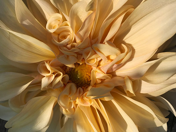 The Café Au Lait Dahlia - is a very popular formal decorative dahlia - difficult to ship and challenging to grow!