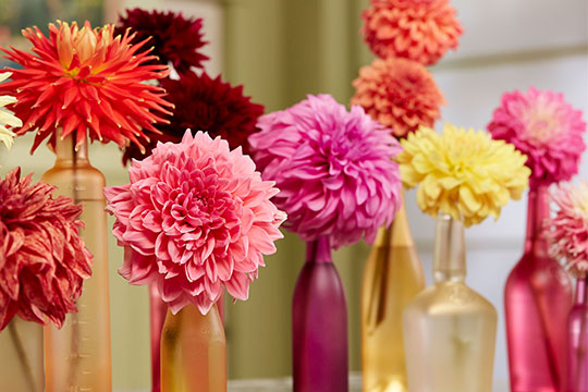This colorful Dahlia flower craft is featured on J Schwanke's Life in Bloom- Flowers in Season Episode 203