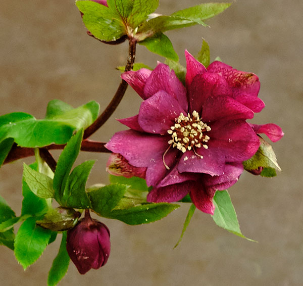 Also known as the Christmas Rose- the Hellebores is this week's featured flower!