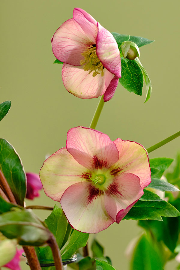 The Hellebores is not a rose but rather a relative of the Buttercup!