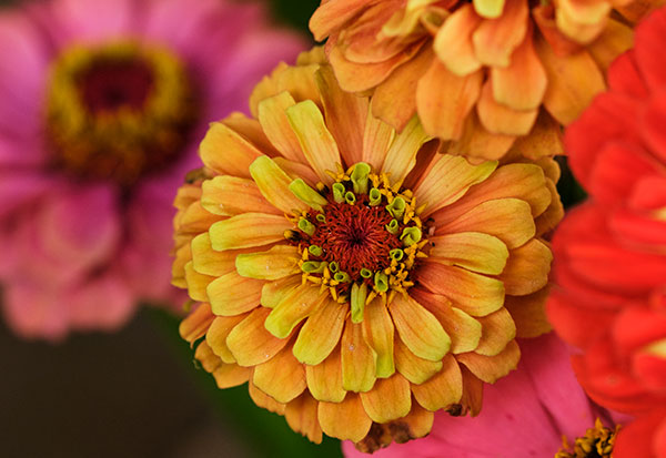 Look closely- and you'll see the flowers inside the flower- at the center of the Zinnia... Magical!