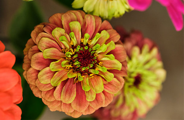 My friend Craig at Z's Farm- grows these antique Zinnias- they make my heart go pitter-pat!