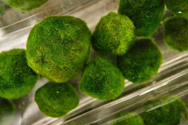 Marimo Moss Balls- up close and personal... these are some of the largest I've encountered... and they are on the Magic of Moss Episode of Life in Bloom!