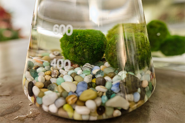 "Learn more about Marimo Moss Balls on this week's Life in Bloom ""Experiment""!"