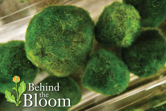 Behind the Bloom_With Grace Boersma and Marimo Moss Balls