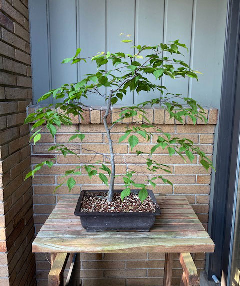 Dusty sent pictures of his Bonsai- enjoying the summer!