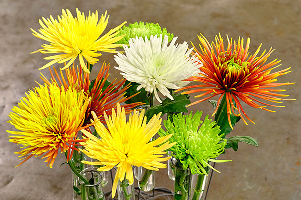 The Fugi (or Spider) Chrysanthemum is the featured flower.